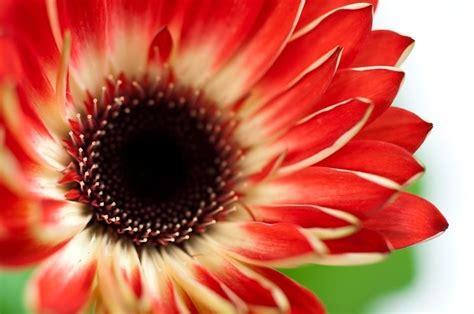 linguaggio dei fiori gerbera gerbera gerbera jamesonii piante annuali la bellezza