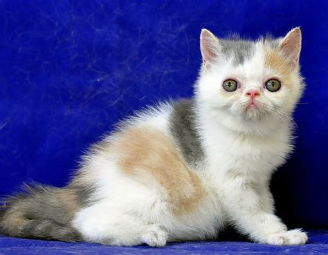 Sho Kucing Dan Harga sukses beternak kucing ras kumpulan artikel kucing