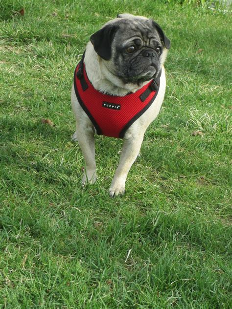 collars for pugs brown harness medium bed elsavadorla