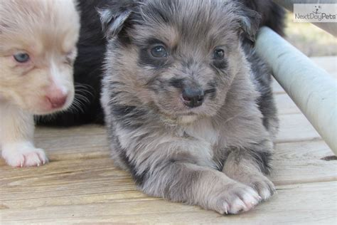 blue merle australian shepherd puppies for sale florida pin blue merle australian shepherd puppy for sale in arcadia florida on