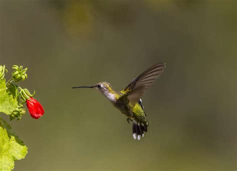 hummingbirds delight as they return to the houston area to