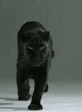 imagenes gif jaguar foto animada fhotografy pinterest jaguar fotos