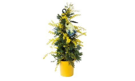 pianta di mimosa in vaso pianta di mimosa altezza 100cm groupon