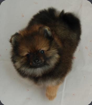pomeranian puppies washington bi mar pomeranians washington breeder pomeranian breeders beautiful