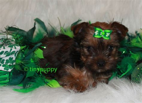 golden teacup yorkie tinypuppy teacup yorkie breeder offers teacup terrier new style for 2016 2017