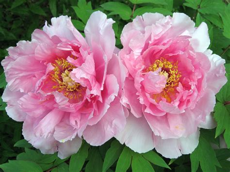 garden flowers the flamboyant and sumptuous peony lisa cox garden designs blog