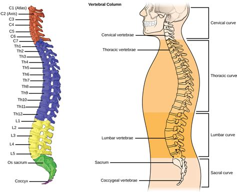 diagram of human spine human vertebral column diagram anatomy organ