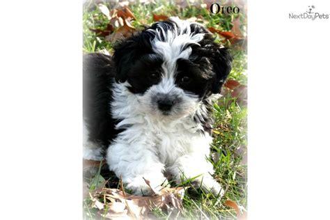 yorkie poo colors yorkiepoo yorkie poo puppy for sale near bowling green kentucky e18b325a 4221