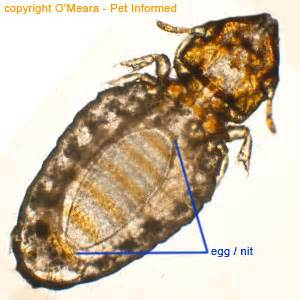 lice pictures and information about lice in animals