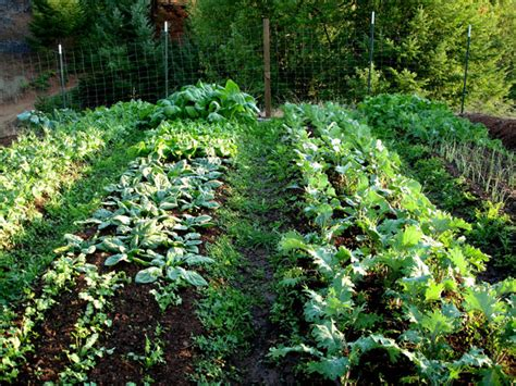 Intensive Vegetable Gardening Kale A Nutritional Powerhouse And The Superstar Of The