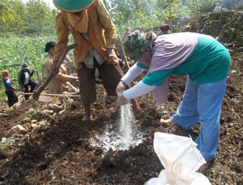 Pupuk Dolomit Untuk Durian cara menanam pohon pisang agar cepat berbuah