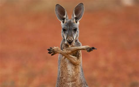 8 Animals From Australia Id To See by Kangaroo Kangaroo Australia Animals Marsupial Australia