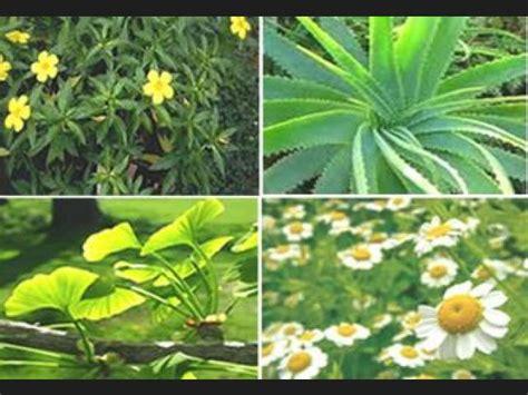 las 10 mejores flores medicinales ranking de las 10 mejores plantas medicinales listas en