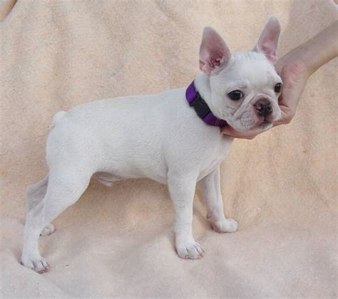 blue boston terrier puppies blue pines colored boston terriers