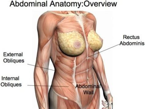 gallery for gt abdominal anatomy muscles and anatomy more anatomy