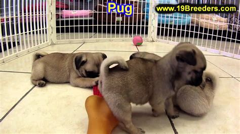pugs for sale in maine pug puppies puppies for sale in portland maine me brunswick waterville