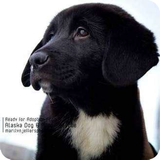 newfoundland lab mix puppies image gallery newfoundland lab mix