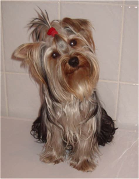 yorkshire terrier with curly hair and more stocky йоркшир тер єр вікіпедія