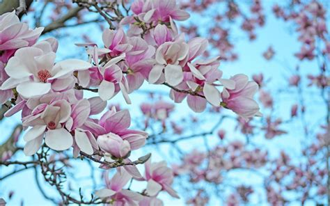 magnolia wallpaper magnolia wallpapers images photos pictures backgrounds