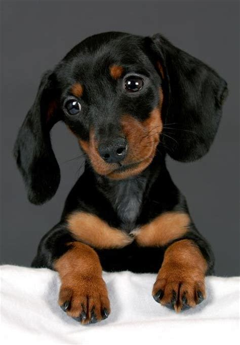 doxie puppy henry the dachshund puppies daily puppy