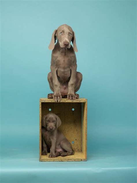 william wegman dogs william wegman puppys and world indices on
