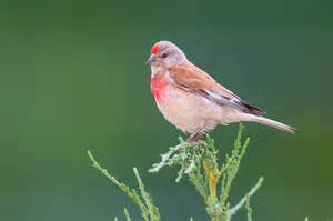Conjunctivitis Blindness European Linnet Facts Temperament As Pets Care Pictures