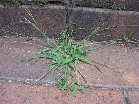 fight crabgrass with these tips hgtv