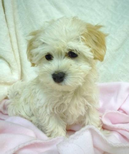 havanese breeders ontario purebred havanese puppies for sale in ailsa craig ontario your pet for sale