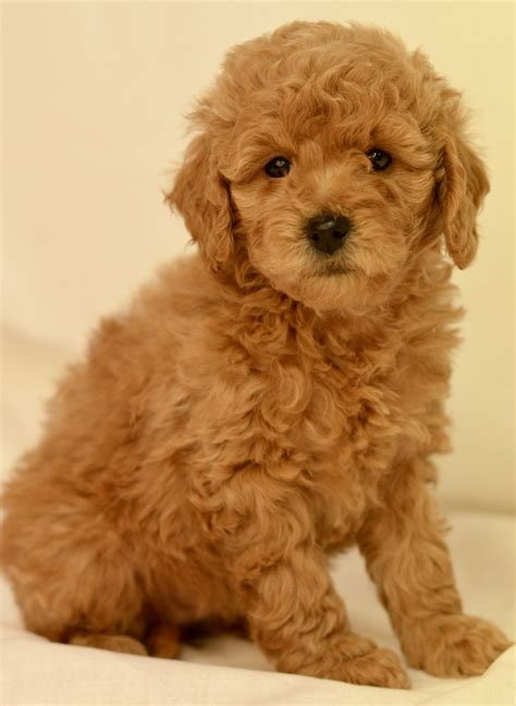 golden retriever breeders cincinnati ohio standard poodle breeders cincinnati ohio photo