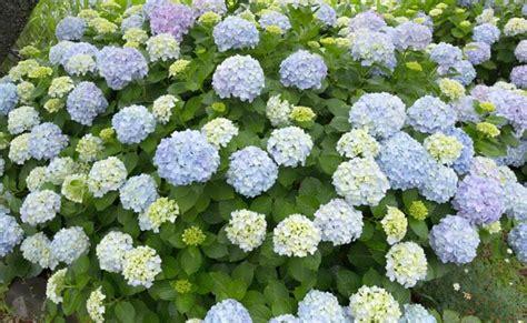 fiori ortensia ortensia coltivazione potatura e cure fai da te in