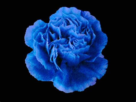 blue carnations flowers www imgkid com the image kid
