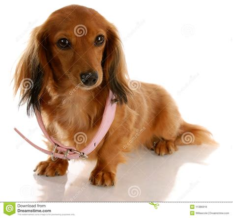 puppy growth puppy growth royalty free stock image image 11386916