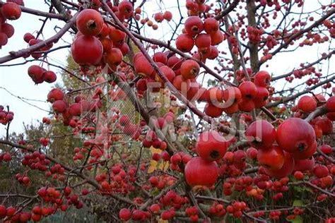 melo da fiore melo da fiore maioli frutti antichi
