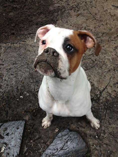 white boxer white boxer muddy boxer boxer mastiff faces boxers and white