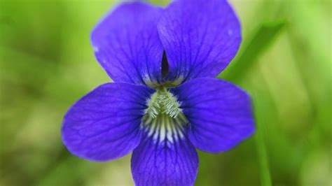 new jersey state flower wood violet home pinterest jersey s state flower the viola sororia the great