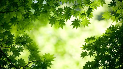 wallpaper of green leaves green maple leaves wallpapers hd wallpapers id 11787