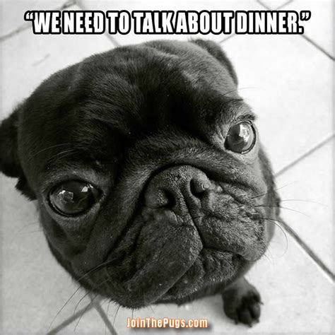 pug forum join the pugs gt a serious pug talk