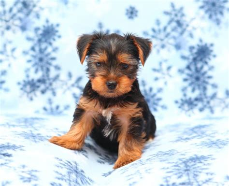 carolina puppies for sale non shedding puppies for sale in carolina breeds picture