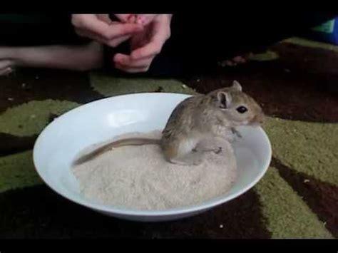 sanding a bathtub my gerbil lucky having a sand bath youtube