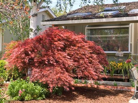 maple tree growing conditions japanese maples www coolgarden me