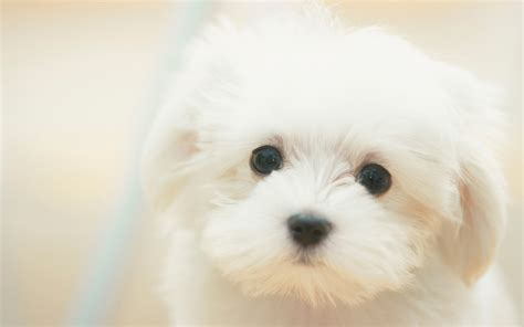 white puppy white puppy wallpapers and images wallpapers pictures photos