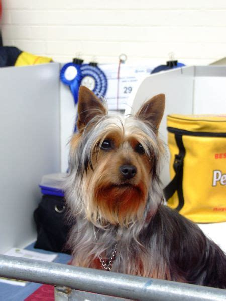 silky terrier with haircut silky terrier puppy cut www pixshark com images