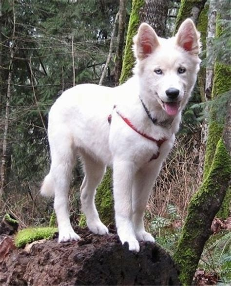 white husky golden retriever mix goberian breed information and pictures