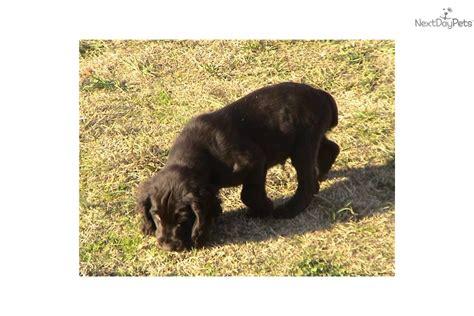 boykin spaniel puppies for sale in nc boykin spaniel puppy for sale near carolina d397fc09 3641