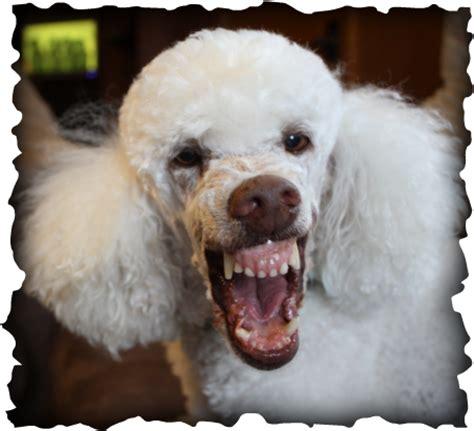 multi poodle lifespan windswept poodles home