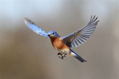 attract bluebirds your backyard attract bluebirds to your yard some simple tips to help