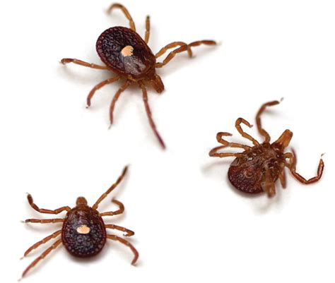 american tick diseases small bugs with big bites american tick borne diseases em resident magazine