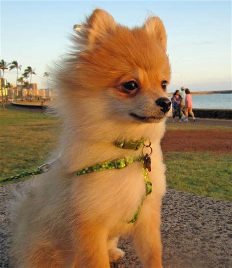 popular pomeranian the pomeranian puppies daily puppy