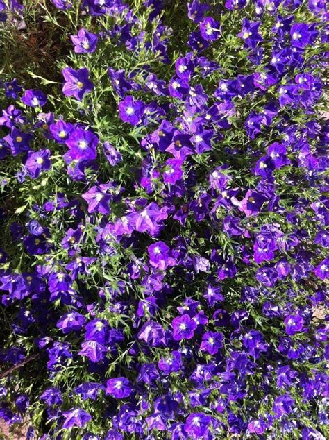 purple flowers yellow center bushy plant pic flowers forums