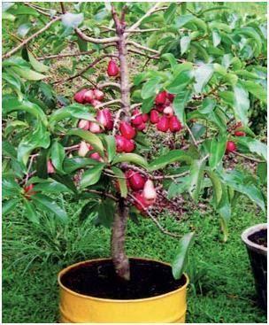 Bibit Alpukat Fuerte mengurangi polusi dengan tanaman hias bonsai biker